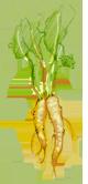 mierikswortel